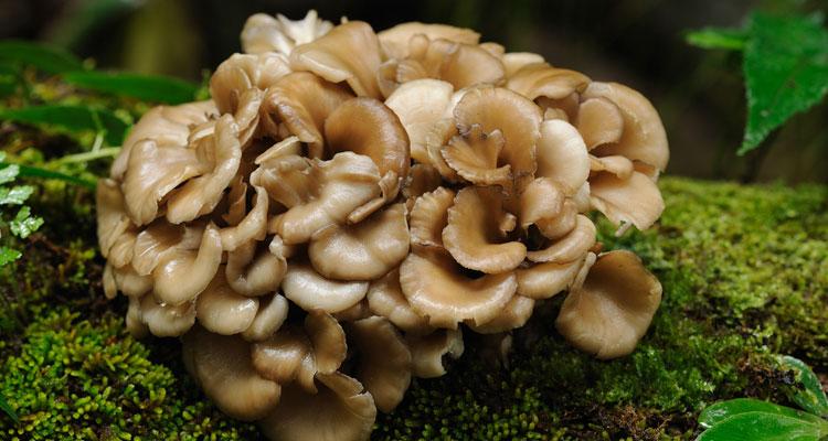 maitake mushroom, immune system, immune health, immune support